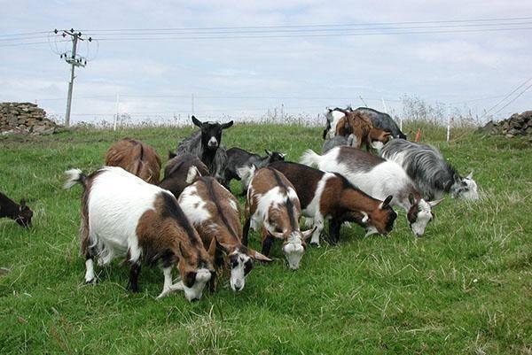 Пестрые немецкие козы – особенности породы