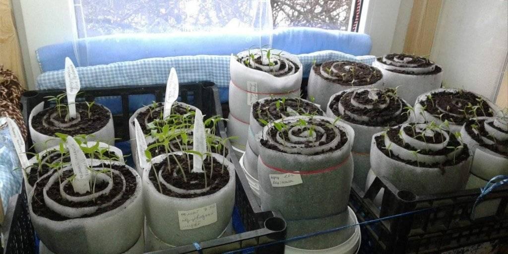 Рассада помидор – выращивание в домашних условиях