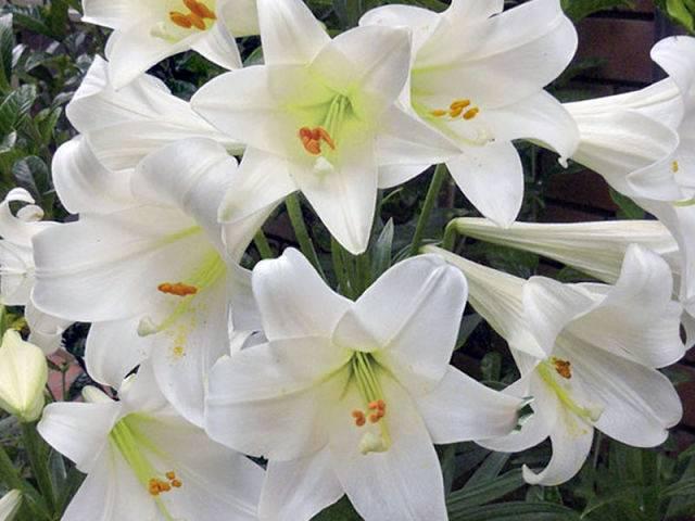 Подготовка лилий к зиме: что делать, как правильно ухаживать после цветения осенью