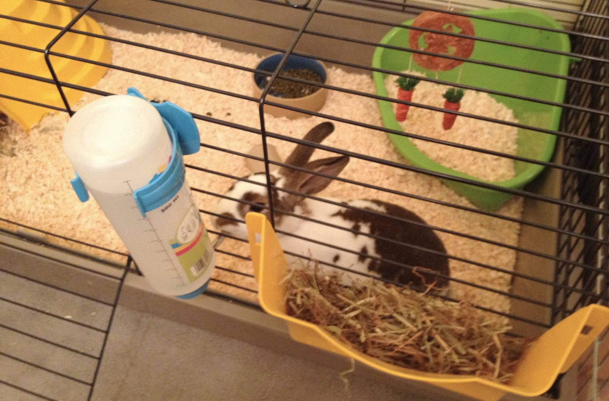 Декоративные кролики: уход и содержание в квартире