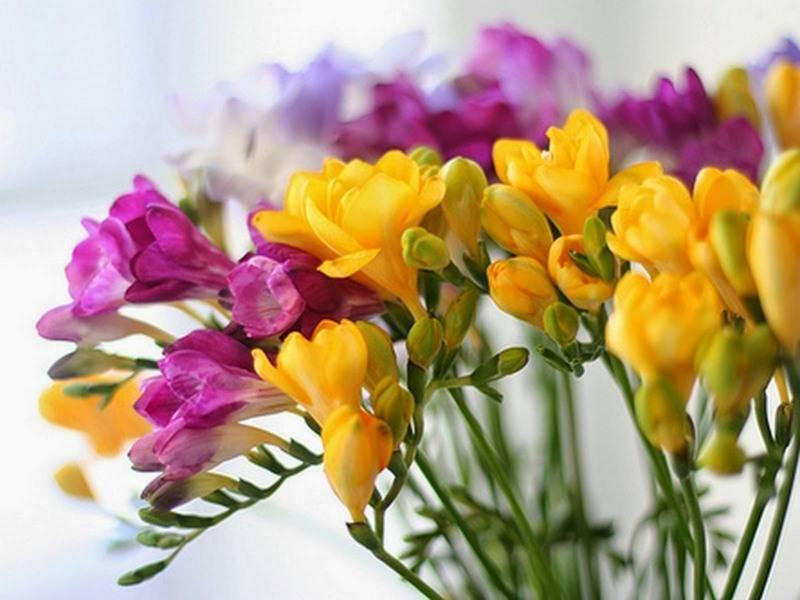 Фрезия – садовый цветок