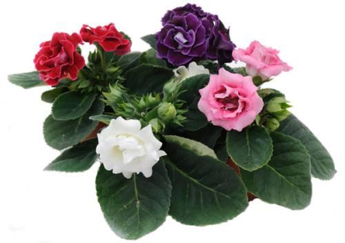 Цветок глоксиния в горшке: фото, уход, выращивание в домашних условиях, размножение черенками и семенами