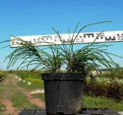 Туя складчатая випкорд (вайпкорд, whipcord): посадка и уход, фото в ландшафтном дизайне, особенности выращивания