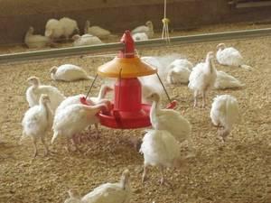 Разведение и содержание индюков в домашних условиях: правильное выращивание птицы на даче для начинающих