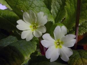 Примула многолетняя: посадка и уход, фото в открытом грунте, выращивание и сочетание в ландшафтном дизайне, размножение сорта