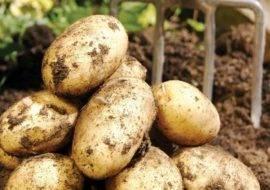 Особенности выращивания и характеристики сорта картофеля венета - всё о землеводстве