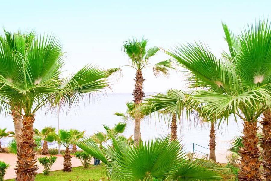 """Пальма """"вашингтония"""": посадка и уход в домашних условиях + фото"""