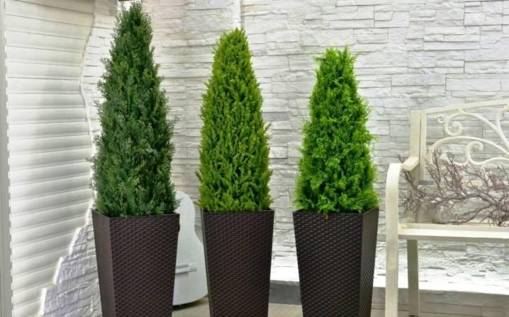Туя в современном ландшафтном дизайне, выращивание и сорта
