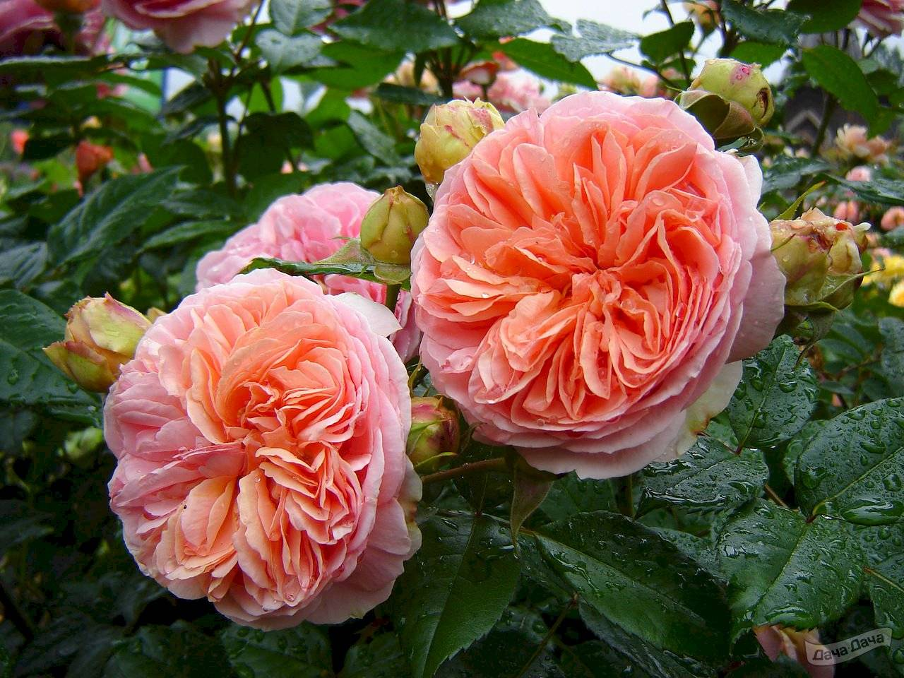 Роза сорта чиппендейл: полуплетистая садовая красавица