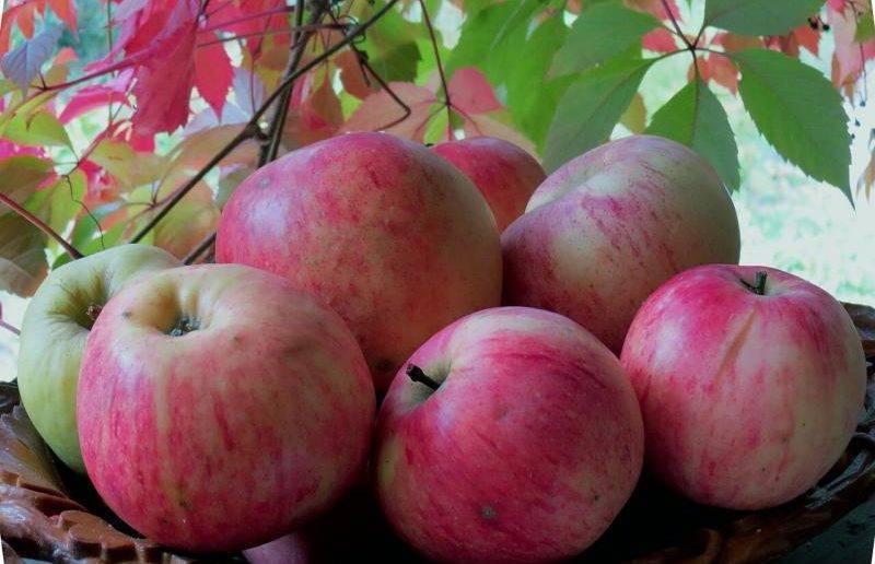 """Яблоня """"штрифель"""": описание сорта, фото, отзывы"""