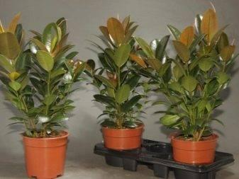 «мелани» — один из популярных видов каучуконостного фикуса