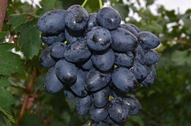 Винограда «фурор» описание сорта, особенности выращивания, фото и отзывы