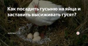 Сколько времени высиживает гусыня яйца
