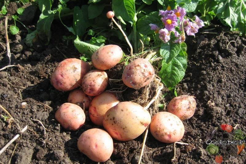 Картошка «синеглазка»: характеристика, агротехника выращивания