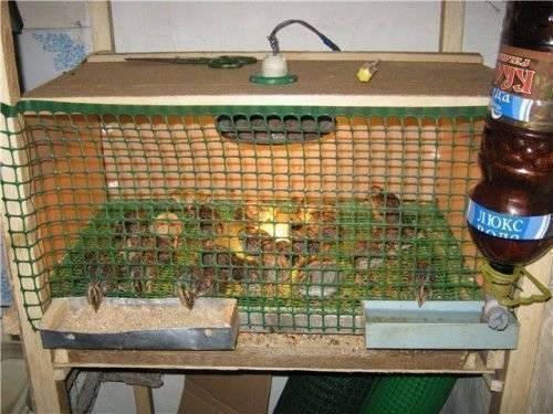 Перепелки в квартире: содержание на балконе, условия выращивания для начинающих