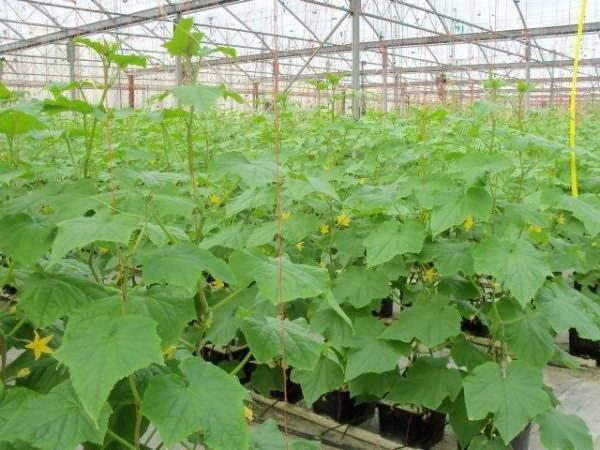 Чем подкармливать огурцы в теплице | вырасти сад!