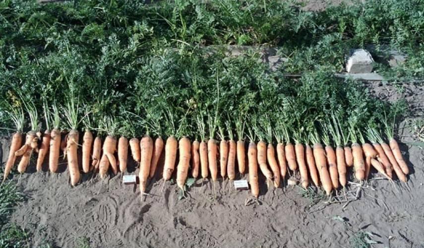 Морковь «самсон»: описание сорта