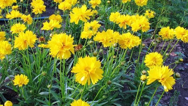 Кореопсис многолетний: посадка и уход за растением с длительным цветением