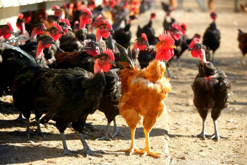 Разведение бройлеров: как вырастить птицу в домашних условиях начинающим фермерам