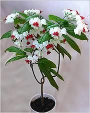 Клеродендрум томпсона — уход за цветком в домашних условиях