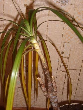 Болезни драцены и их лечение: почему у растения сохнут или желтеют кончики листьев, что делать с личинками вредителей и при других проблемах, фото