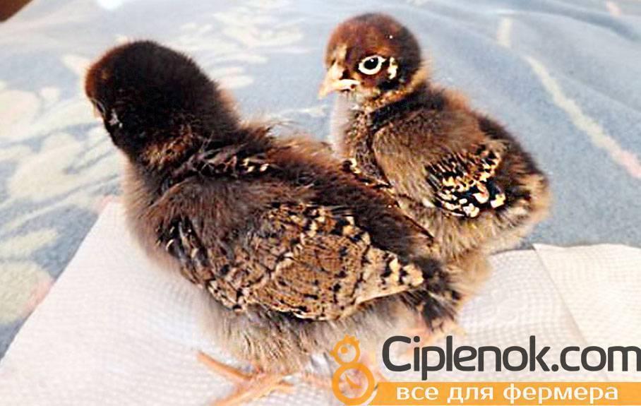 Куры породы геркулес (29 фото): описание взрослых кур и цыплят породы геркулес, особенности содержания, отзывы