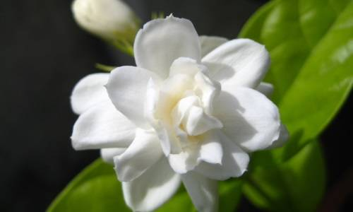 Жасмин самбак (арабский) — уход за комнатным растением в домашних условиях ?