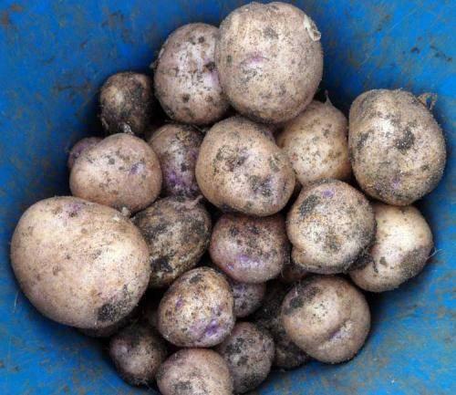 Урожайный и вкусный картофель голубизна: описание сорта, агротехника, отзывы