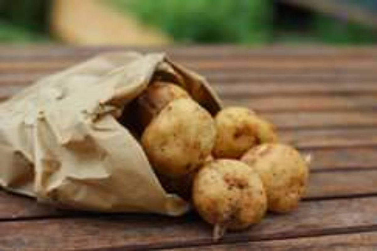 Картофель колобок: характеристика, описание и фото сорта, особенности выращивания, уход, болезни и вредители этой разновидности картошки