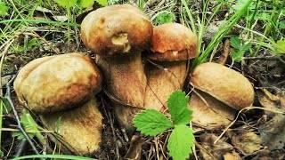 Белый гриб берёзовый: описание, применение, фото. рецепты