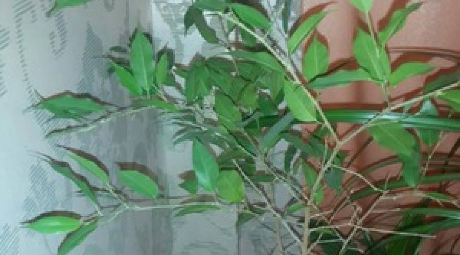 Что делать, если у фикуса бенджамина желтеют и опадают листья? 30 фото почему растение сбрасывает листья? особенности ухода в домашних условиях