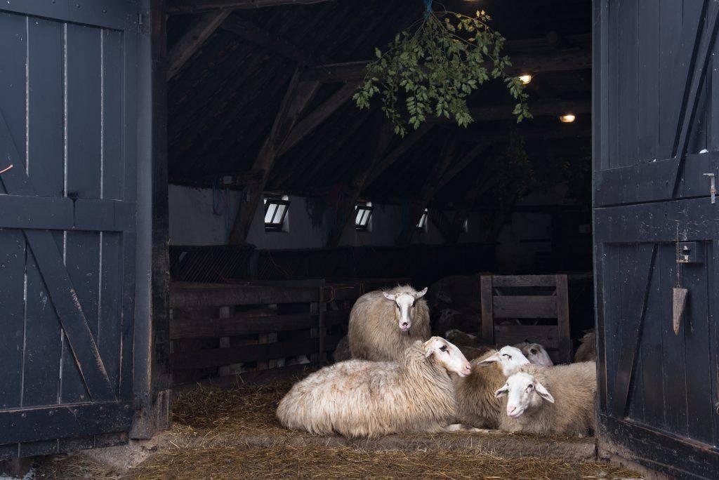 Овчарни: кошара и другие загоны для овец, проекты хлева на 100 и 300 голов. как построить большое стойло своими руками? этапы строительства