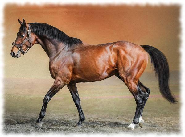 Английская чистокровная лошадь - описание породы