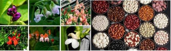 Как вырастить фасоль в открытом грунте и в домашних условиях? видео и рекомендации на ydoo.info