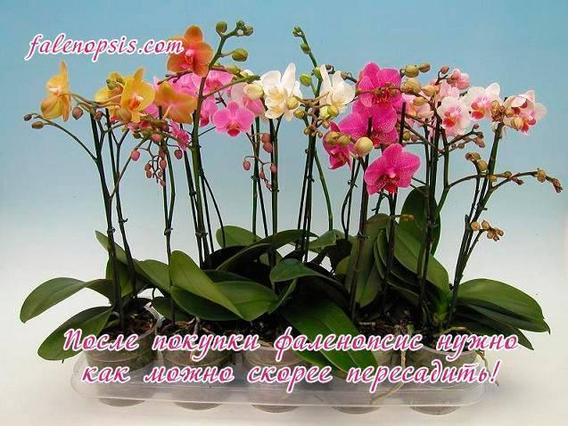 Пошаговая пересадка орхидеи в домашних условиях: правила и особенности пересадки