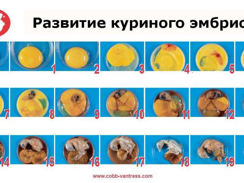 Овоскопирование куриных яиц по дням
