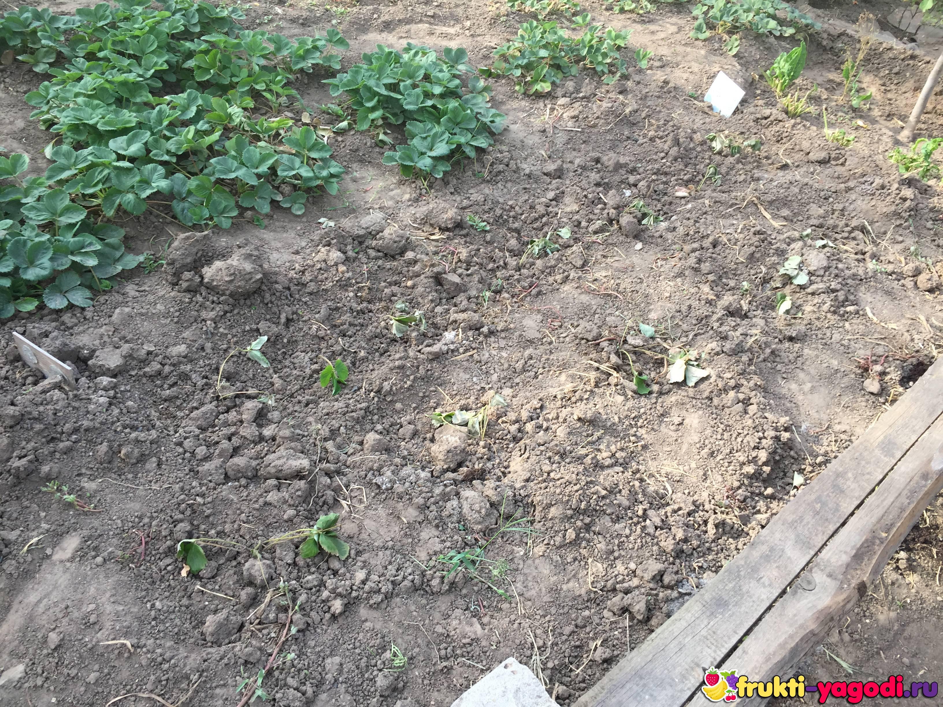 Как правильно посадить клубнику осенью: технология и схема, видео и фото