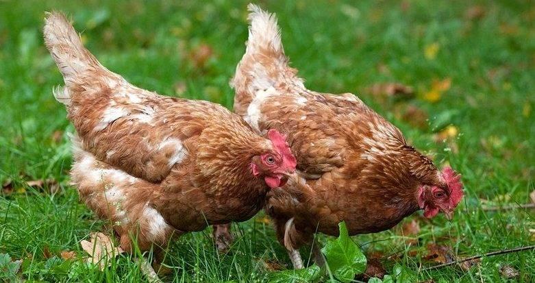 Описание породы кур хайсекс браун и уайт: характеристика, яйценоскость, уход и разведение