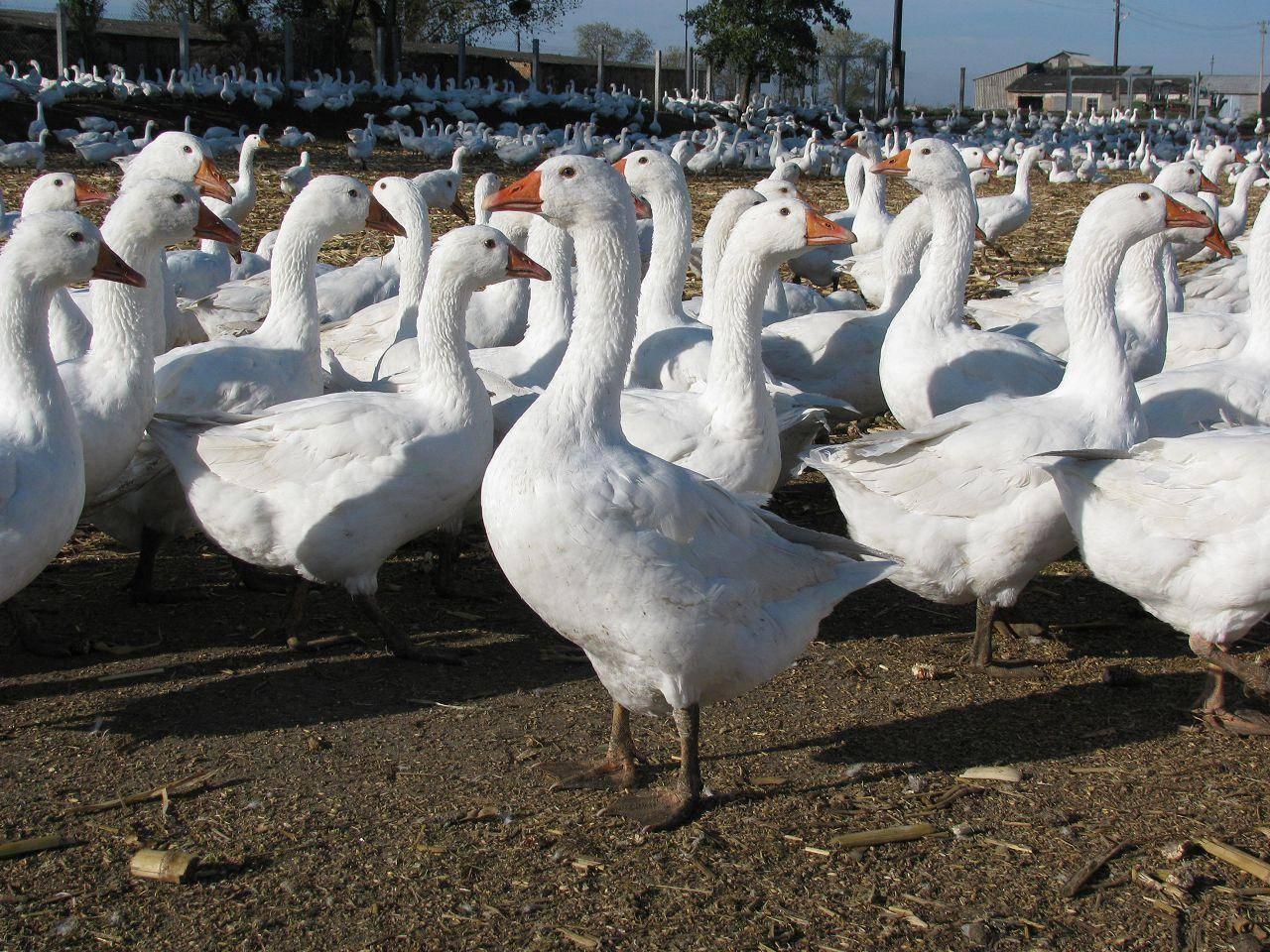 Как выращиваются кубанские гуси: описание и характеристика