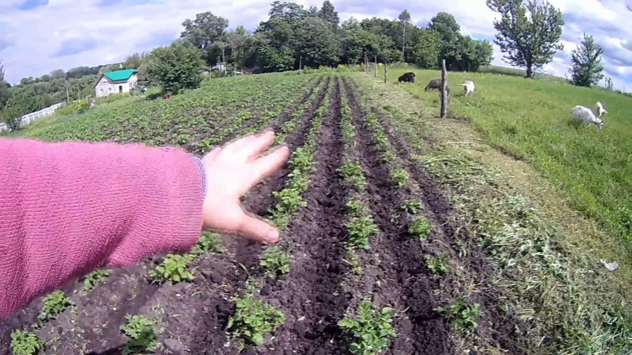 Прополка картофеля мотоблоком