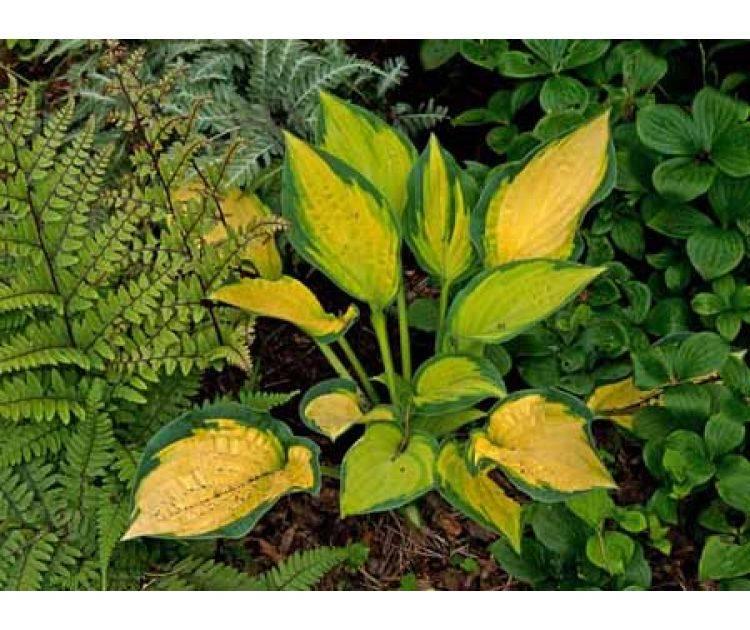Хоста «оранж мармелад»: описание, посадка, уход и размножение - ваша дача