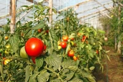 Подкормка томатов (помидоров) в теплице – какие удобрения и когда использовать