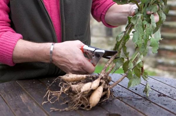 Как хранить клубни георгинов зимой в домашних условиях