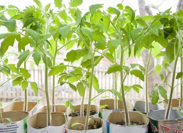 Как посадить переросшую рассаду помидор в теплицу правильно