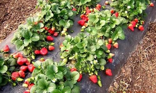 Ремонтантные сорта клубники — 125 фото, описание, уход и характеристики сорта. посадка, полив, удобрение и выращивание