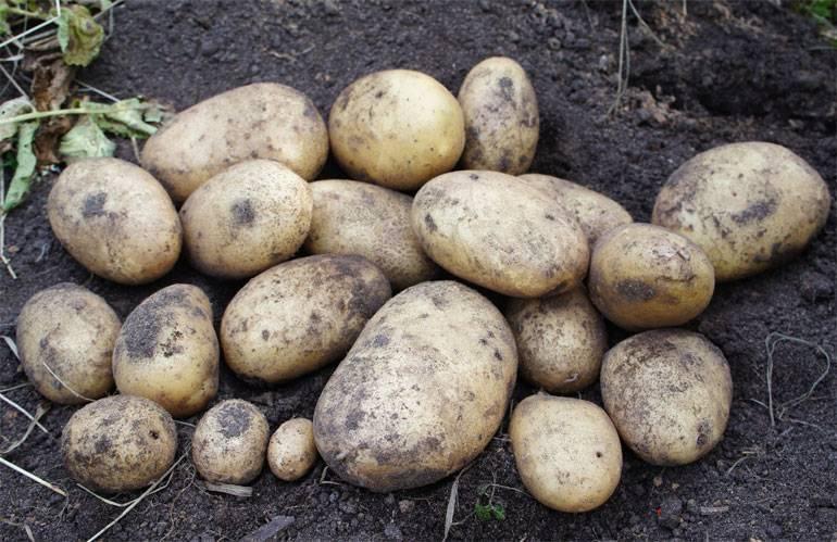 Картофель адретта – описание сорта, фото, отзывы