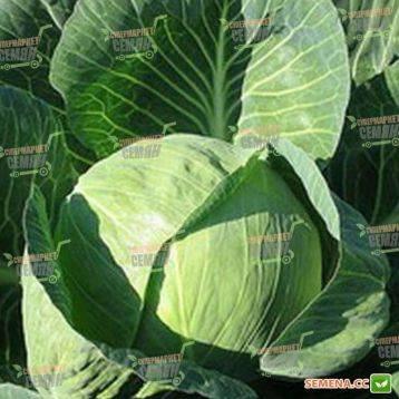 Малоизвестный, но очень стойкий и вкусный сорт — капуста бухарест f1: описание и характеристика