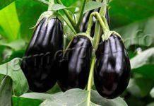Баклажан клоринда: описание сорта, выращивание + 10 фото