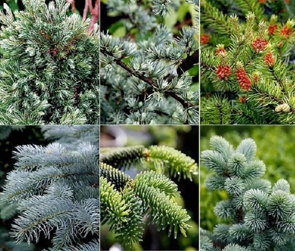 Хвойные растения для сада: виды, где используются в ландшафтном дизайне и правила посадки