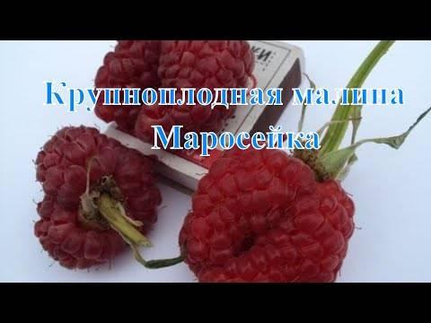 Малина маросейка - отзывы о сорте, описание, фото